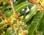 mango-bee-3