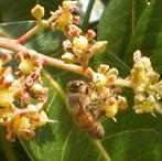 mango-bee-5